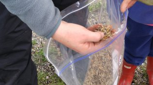 the Preschoolers that join us on site helped with seeding our marigolds- an annual dye plant